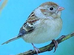 Field Sparrow (species in decline)