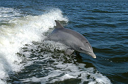 Bottlenose Dolphin breaching in the bow wave of a boat